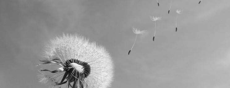 cropped-dandelion-333093_960_720-744x286