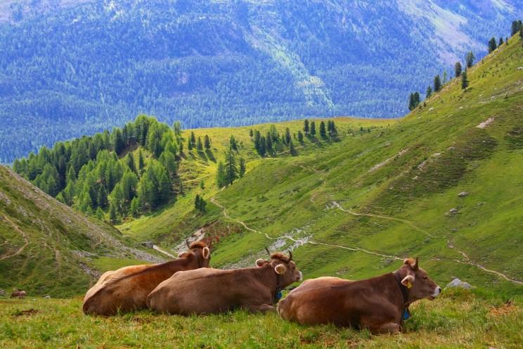 cow-1743240_960_720