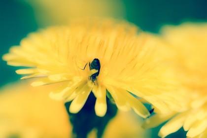 jaune fleur