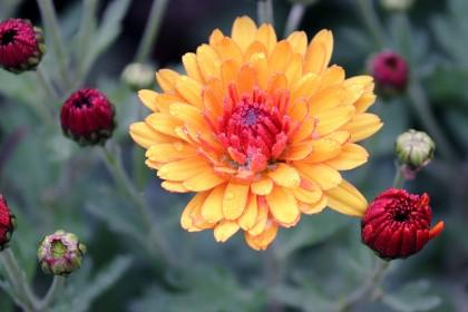 chrysanthemums-4609628_960_720